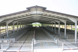 TYPICAL SOLUTION OF STABLE FOR REPLACEMENT COWS WITH FIRST PHASE ON BEDDING AND SECOND PHASE ON BERTHS