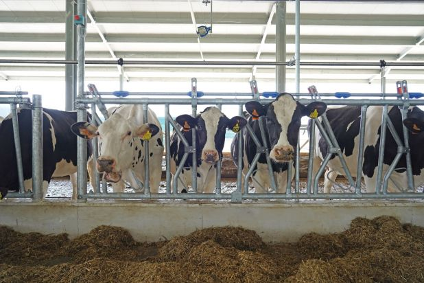 stalla vacche da latte