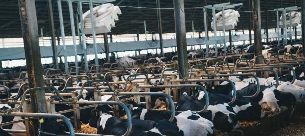 Ventilazione zonariposo ruminare bovine rotaguido